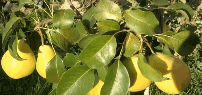 Посадка груші восени