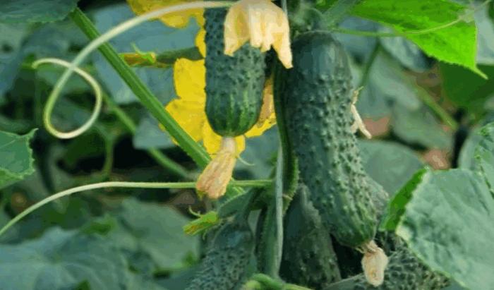 Свіжі огірки до заморозків