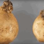 Рак картоплі: чим лікувати ґрунт