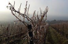 Як вкрити виноградник на зиму
