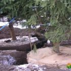 Пересадка дорослих дерев в період спокою