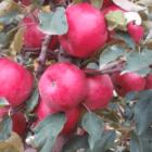 Зимові сорти яблук, які зберігаються до весни
