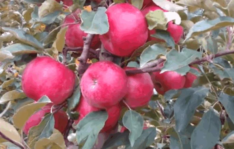 Зимові сорти яблук — Айдаред