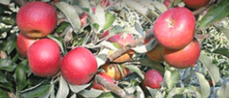 Зимові сорти яблук — Джонатан