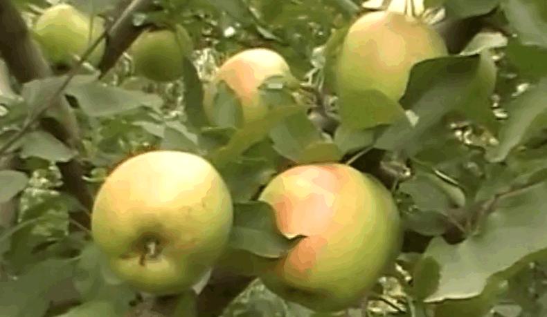 Зимові сорти яблук — Голден Делішес
