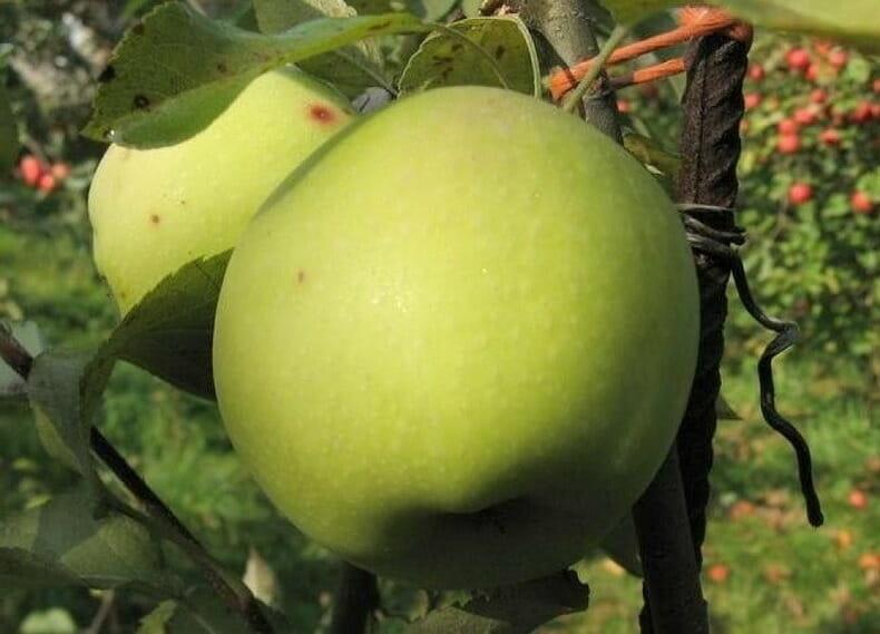 Зимові сорти яблук — Грін схем