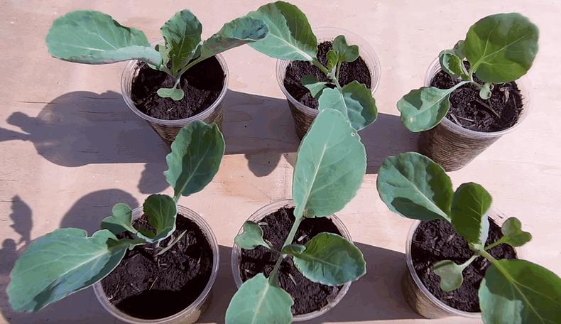Рання капуста: вирощування розсади