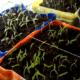Що сіяти в лютому на розсаду з овочів