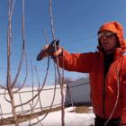Як правильно обрізати грушу, щоб збільшити врожайність