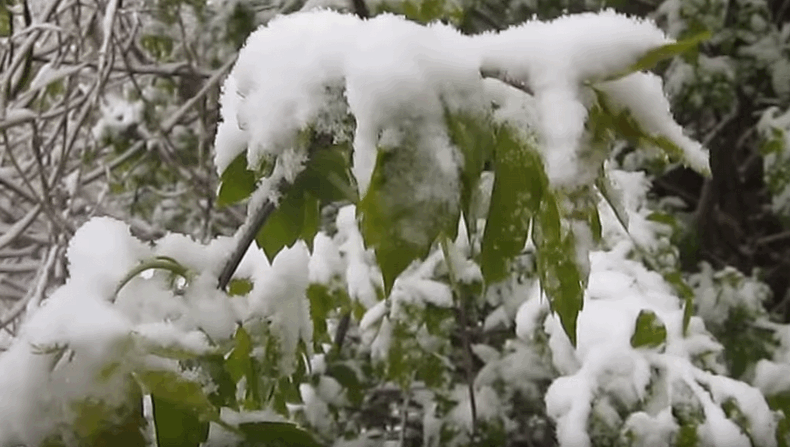Засніжений сад: як перезимувати без сніголаму