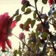 Підживлення троянд весною