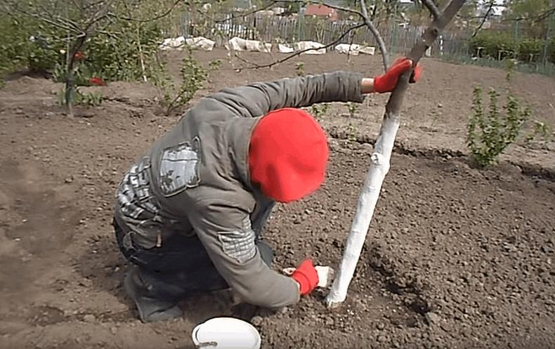 Навіщо весняна побілка дерев і плодових ліз?