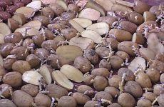 Підготовка картоплі до посадки: навіщо і як різати, як саджати