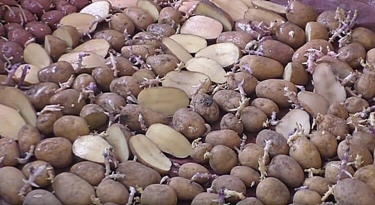 Підготовка картоплі до посадки: як різати