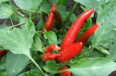 Гострий перець: овоч «стратегічного» призначення