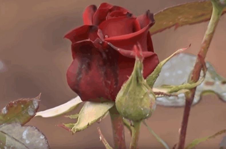 Розмноження троянд живцями
