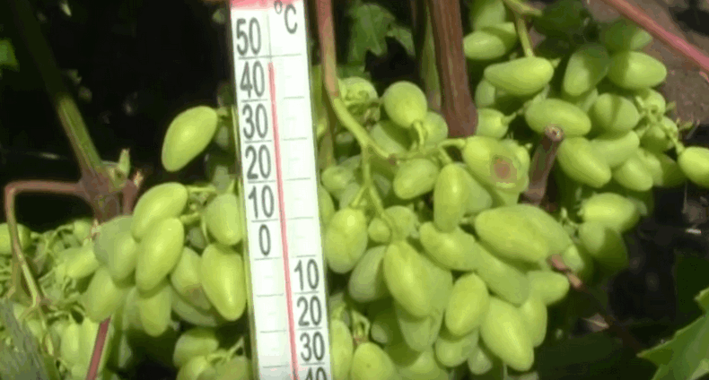 Сонячні опіки винограду і як запобігти їх