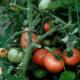 Вирощування томатів: бабусині секрети