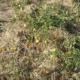 Захист томатів від перегріву