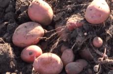 Два врожаї картоплі — цілком реальна справа