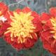 Календар квітникаря на липень
