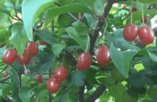Чи корисні ягоди гумі?