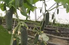 Як продовжити плодоношення огірків