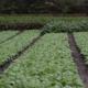 Що можна посадити в серпні на городі
