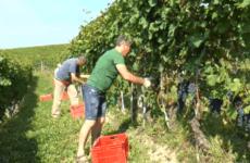 Краща тара для збирання винограду