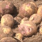 Як вибрати картоплю на посадку для вирощування в умовах спеки
