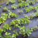 Покривний матеріал: захист городніх та садових культур